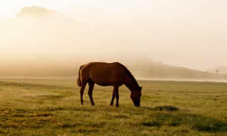 Horse grazing on grassy plains of Mongolia.