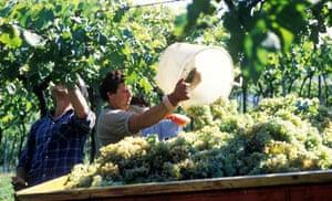 grape harvest in Italy