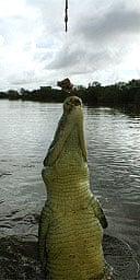 Feeding a crocodile, Darwin