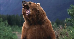 A grizzly bear in Alaska