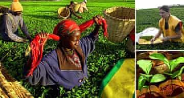 Pickers at Kenyan tea plantation, Catherine Quinn having a go, a tea plant