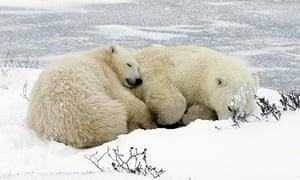 A mother polar bear and her cub sleep near the ice outside Churchill, Canada