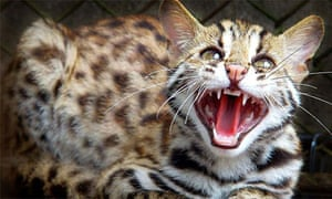 A six-month old leopard cat