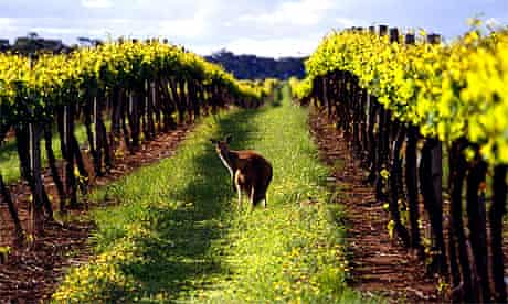 A local visitor to Australian vineyard