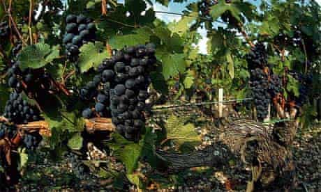 Grapes ready for wine harvest, Bordeaux, France