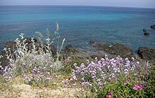 Flowers along the coastal path, Desert des Agriates, Corsica
