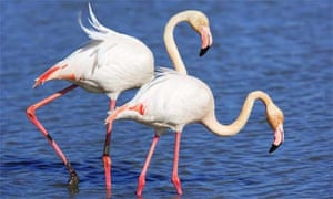 Greater Flamingos in France