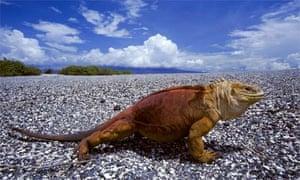 An Iguana on the Galapagos Islands