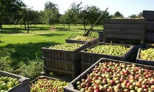 The apple orchard at Calvados Dupont