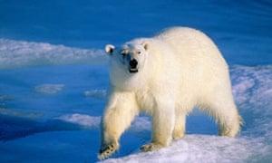 Adult polar bear, Arctic Norway