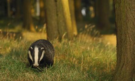 A Badger foraging in forest, UK