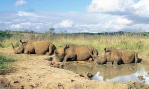 White rhinoceros at rest, Hluhluwe Umfolozi Game Reserve, South Africa