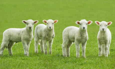 Four lambs in a field