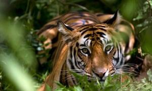 Female Indian Tiger, Madhya Pradesh state, India