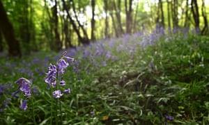 Bluebells in Heartwood forest, Hertfordshire