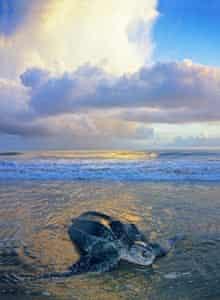 Leatherback sea turtle on a beach, Trinidad