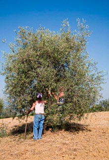 Pruning olive trees in Umbria.