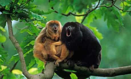 Black howler monkey with cub.