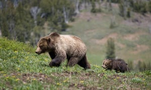 Grizzly Bear with cubs, Yellowstone National Park, Wyoming, US