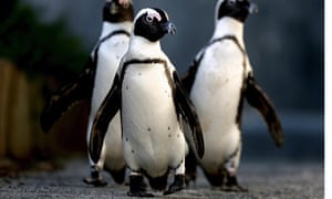 African Penguins south of Cape Town.