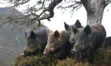 Wild boar at the Alladale Wilderness Lodge and Reserve in the Highlands