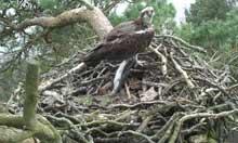 Osprey in Scotland
