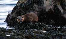Otter, Isle of Mull