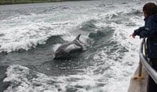 Dolphin watching off Ireland