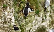 A puffin and two kittyhawks at Bemton Cliffs, Yorkshire