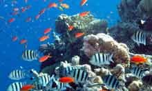 Fish swim past a reef in the Red Sea in Dahab, Egypt