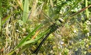 Dragonfly at Ringmore, Devon