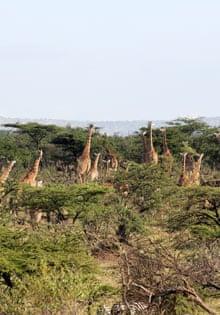 naboisho giraffes