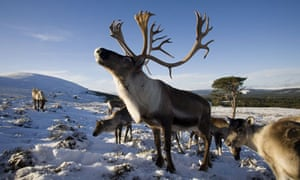 Reindeer in Cairngorms