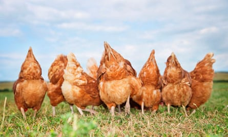 Rear view of chickens in field