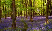 Bluebell Woods at Coed Cefn Crickhowell near Abergavenny Wales