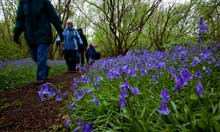 Bluebells Foxley