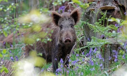 Wild Boar Sow ij the Forest of Dean at Bluebell time