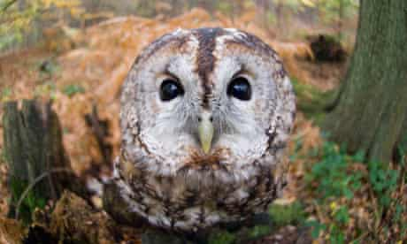 Tawny owl in the New Forest