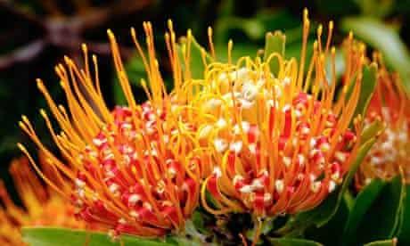 Pincushion flower, Kirstenbosch Botanic Gardens