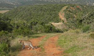 Spot the local … a leopard crosses the tourists' track