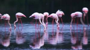 Feb 12 Been there comp: Tanzania's Serengeti national park, greater flamingos