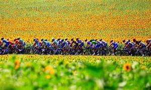 The Tour de France rides past sunflowers
