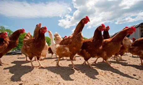 Grow Your Own Chicken Feed Life And Style The Guardian