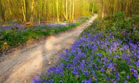 Bluebells in Blake's Wood