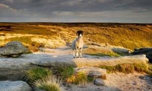 A sheep near Kinder Scout
