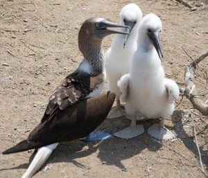 Bluefooted Booby with chicks on  Isla de la Plata