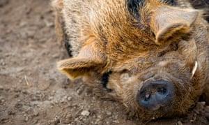 Farmer Palmer's pig