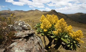 Flower power … a giant groundsel in the Aberdares range, Kenya