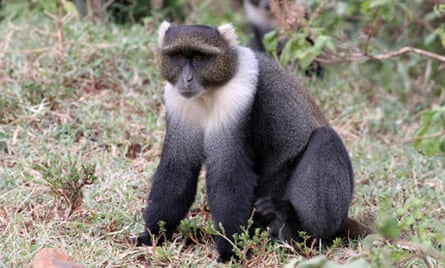 Sykes' monkeys are common in Aberdare national park