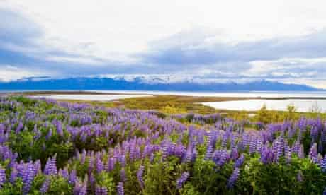 Purple patch … a field of lupines at Husavik, Iceland